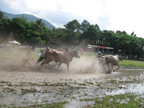 Kỳ thú đua bò Bảy Núi - 4