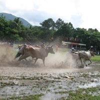 Kỳ thú đua bò Bảy Núi