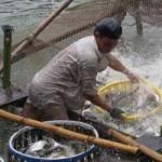 Thị trường - Tiêu dùng - Cấp bách cứu ngành cá tra