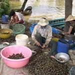Thị trường - Tiêu dùng - Thương lái TQ lại giở trò mua ốc bươu vàng