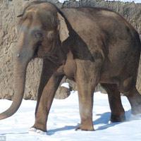 Mỹ: Voi nổi điên giẫm chết nhân viên sở thú