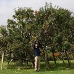Phi thường - kỳ quặc - 250 loại táo nằm trên một cây