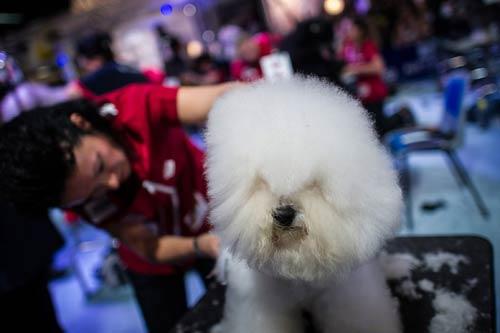 Cuộc thi sắc đẹp chải lông cho cún - 1