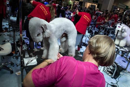 Cuộc thi sắc đẹp chải lông cho cún - 2