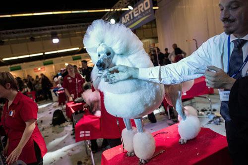 Cuộc thi sắc đẹp chải lông cho cún - 3