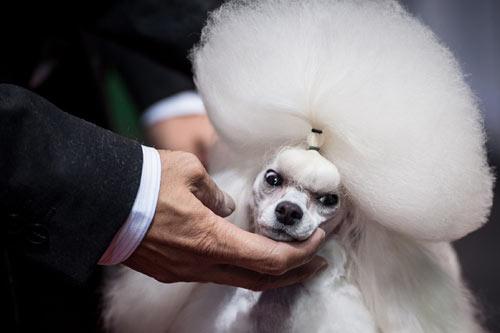 Cuộc thi sắc đẹp chải lông cho cún - 5