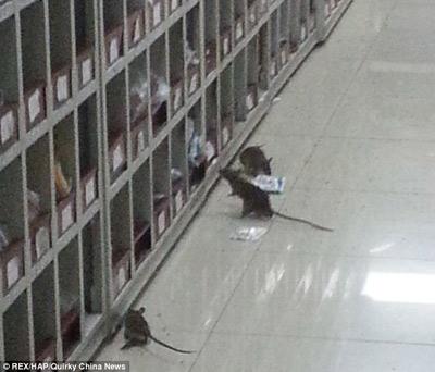 TQ: Chuột lúc nhúc trong phòng điều chế thuốc - 1