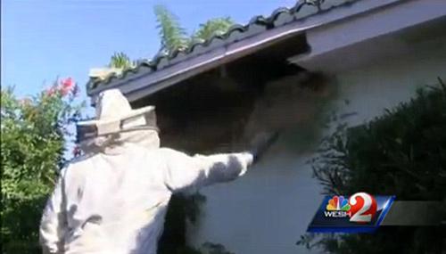 Mỹ: Cụ bà sống cùng nhà với 30.000 con ong - 2