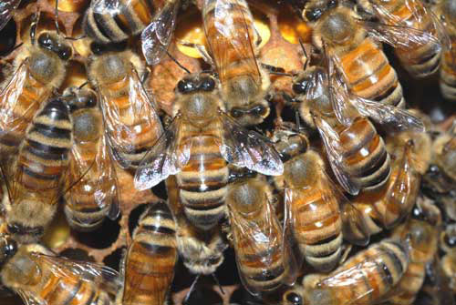 Mỹ: Cụ bà sống cùng nhà với 30.000 con ong - 1