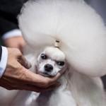 Phi thường - kỳ quặc - Cuộc thi sắc đẹp chải lông cho cún