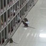 Tin tức trong ngày - TQ: Chuột lúc nhúc trong phòng điều chế thuốc