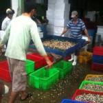 """Thị trường - Tiêu dùng - """"Săn"""" ốc bươu vàng bán cho... Trung Quốc"""