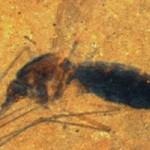 Tin tức trong ngày - Hóa thạch muỗi 46 triệu tuổi nguyên bụng máu