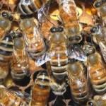 Tin tức trong ngày - Mỹ: Cụ bà sống cùng nhà với 30.000 con ong