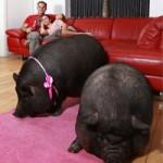 Phi thường - kỳ quặc - Chi 7,5 triệu/tháng nuôi lợn ỉ làm cảnh