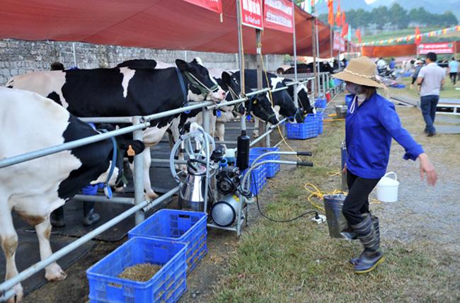 Từ 6 giờ sáng, các chủ hộ có bò dự thi đã đến sân vận động trung tâm Thị trấn để vệ sinh cho các  thí sinh