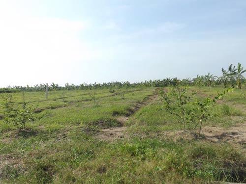Dự án trồng sắn, táo đắt nhất Việt Nam? - 4