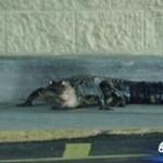 """Phi thường - kỳ quặc - Video: Cá sấu """"tung hoành"""" gần siêu thị"""