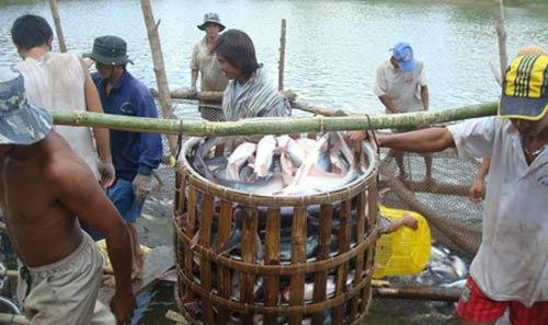 Vỡ mộng cá tra: Đã bị nợ còn bị chiếm dụng vốn - 1