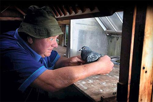 Chim bồ câu về nhà sau 2 năm mất tích - 1