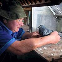 Chim bồ câu về nhà sau 2 năm mất tích