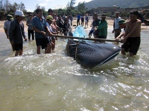 Xác cá voi khổng lồ dạt vào bờ biển Thanh Hóa - 2