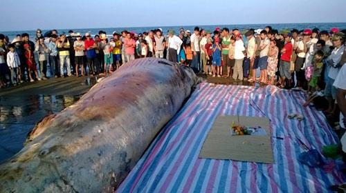 Thanh Hóa: Tổ chức lễ tang cho cá voi khổng lồ - 2