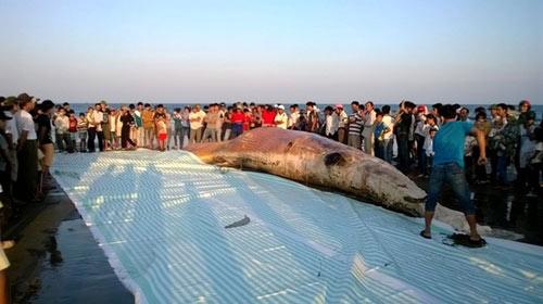 Thanh Hóa: Tổ chức lễ tang cho cá voi khổng lồ - 5