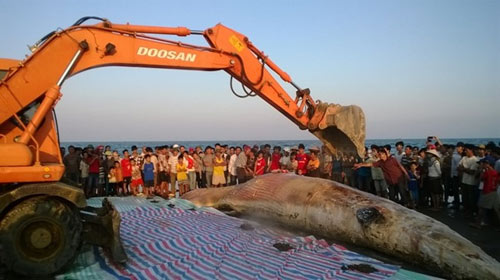 Thanh Hóa: Tổ chức lễ tang cho cá voi khổng lồ - 7