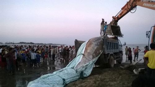 Thanh Hóa: Tổ chức lễ tang cho cá voi khổng lồ - 9