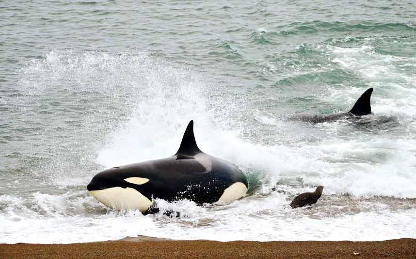 Ảnh đẹp: Cá voi sát thủ tấn công sư tử biển - 8