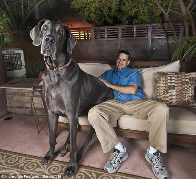 Giant George từng là chú chó cao nhất thế giới với chiều cao gần 1,1m