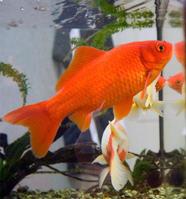 Goldie là chú cá vàng dài nhất thế giới - 38cm