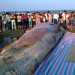 Tin tức trong ngày - Thanh Hóa: Tổ chức lễ tang cho cá voi khổng lồ