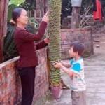 """Phi thường - kỳ quặc - Những buồng chuối """"khủng"""" nhất Việt Nam"""