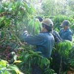 Thị trường - Tiêu dùng - Cà phê rớt giá: Tổn thất lớn cho hộ nghèo