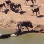 Tin tức trong ngày - Cá sấu ranh mãnh cướp mồi của chó rừng