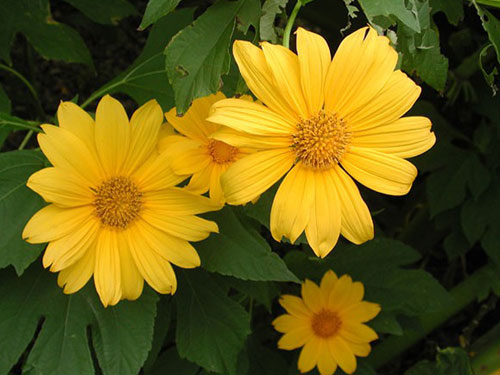 Những cung đường đẹp để ngắm hoa dã quỳ ở Đà Lạt - 1