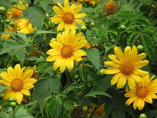 Những cung đường đẹp để ngắm hoa dã quỳ ở Đà Lạt - 2