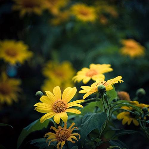 Những cung đường đẹp để ngắm hoa dã quỳ ở Đà Lạt - 4