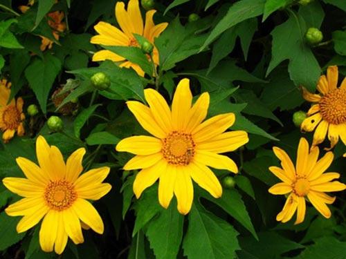 Những cung đường đẹp để ngắm hoa dã quỳ ở Đà Lạt - 5