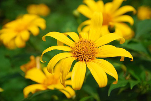 Những cung đường đẹp để ngắm hoa dã quỳ ở Đà Lạt - 7