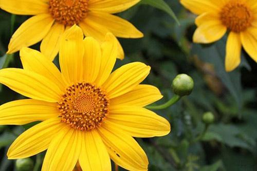 Những cung đường đẹp để ngắm hoa dã quỳ ở Đà Lạt - 9