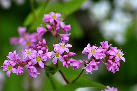 Hoa tam giác mạch phủ hồng các cao nguyên - 2