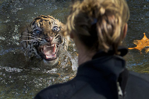 Ảnh đẹp: Hổ tức giận vì bị thả xuống nước - 7