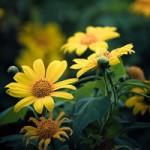 Du lịch - Những cung đường đẹp để ngắm hoa dã quỳ ở Đà Lạt