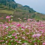 Du lịch - Hoa tam giác mạch phủ hồng các cao nguyên