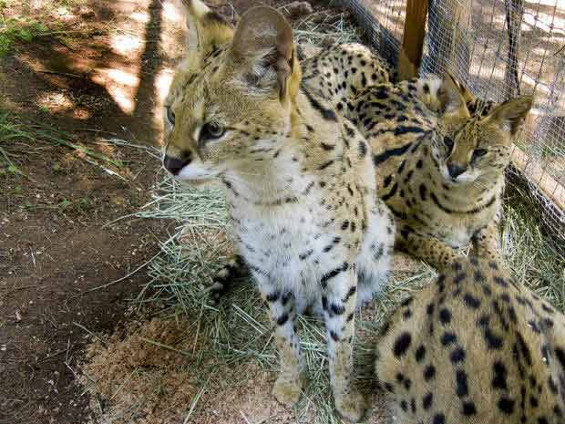 Mỹ: Mèo rừng cắn chết nhân viên bảo tồn - 1