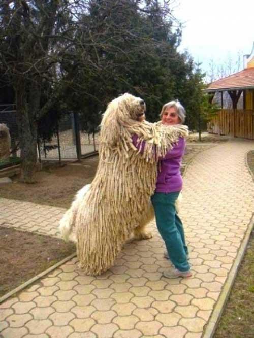 """Chú chó có bộ lông """"khủng"""" nhất thế giới - 4"""