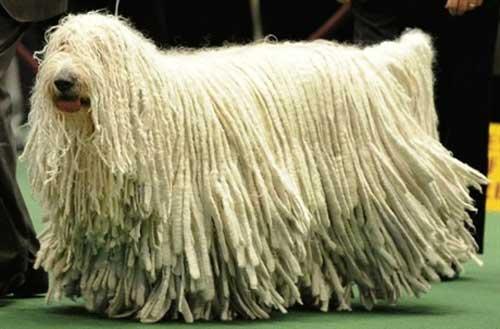"""Chú chó có bộ lông """"khủng"""" nhất thế giới - 1"""